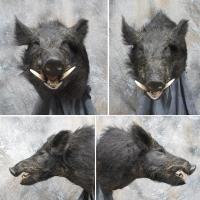California wild hog - Monterey County