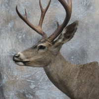 California Blacktail - semi-up, looking left, relaxed ears.