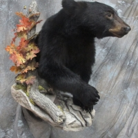 Northern California black bear - walking / wall display