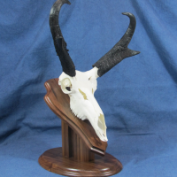 antelope-0