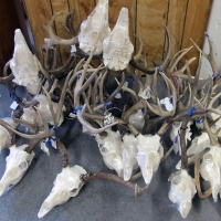 Skull Cleaning Taxidermy Services