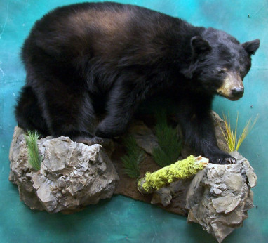 Black Bear taxidermy image