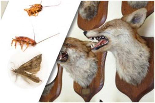 Dangers of insect infestation in taxidermy