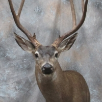 California B zone Blacktail buck - Semi-up, looking left, ears relaxed