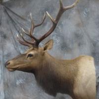 California Tule Elk -