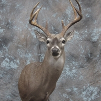 South Texas Whitetail 8 point buck - Semi-upright, looking right, ears relaxed