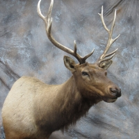 Colorado Rocky Mountain Bull Elk -