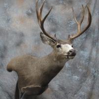 Utah Mule deer - Semi-sneak wall pedestal, looking left, ears relaxed