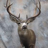 Colorado Mule deer - Semi-sneak, looking left, ears relaxed