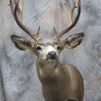 Wyoming mule deer - Semi-snaek, looking left, alert