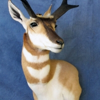 New Mexico Antelope - wall mount, upright, looking left, ears relaxed