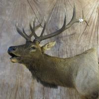 Idaho Bull Elk - 280 4/8 P&Y points - semi-sneak, looking slight left, bugling, removable antlers