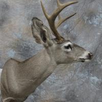 Arizona Coues deer - semi-sneak, looking left, ears relaxed