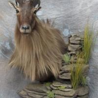 New Zealand Tahr - semi-upright, looking left, ears alert, rock wall pedestal habitat