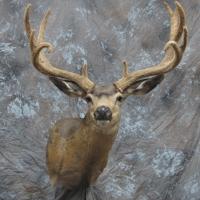 NV mule deer - Semi-sneak, looking right, relaxed ears
