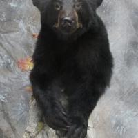 Northern California black bear - walking / wall display
